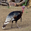 Turkey, Gould's Mexican. Santa Rita Mountains, Arizona. #322.1828.