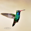 Hummingbird, Broad-billed. Patagonia, Arizona. #321.1389.