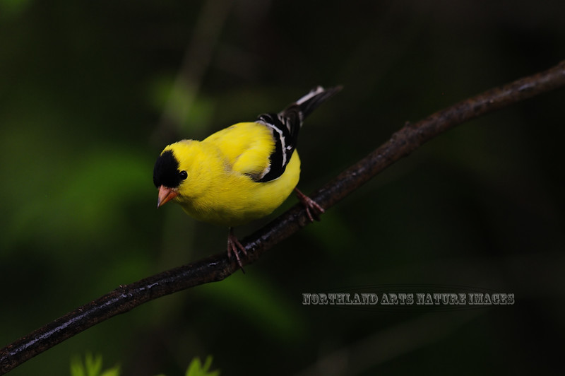 Goldfinch, American. Bucks Co., PA. #54.165. 3x4 ratio format.