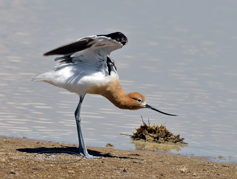 Avocet, American 2019.6.5#1066. Cochise Lake, Wilcox Arizona.