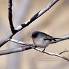 Bushtit, coastal variation. Yavapai County, Arizona. #225.371.