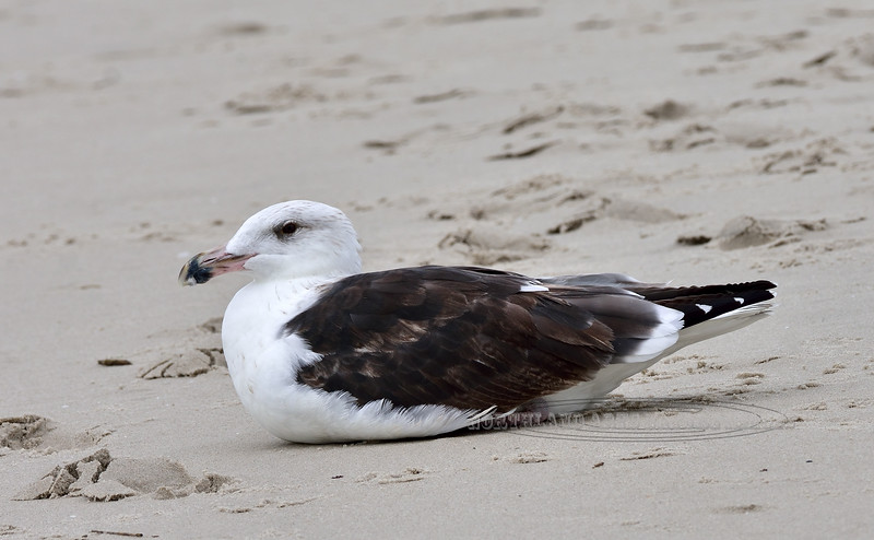 Gull, Great Black-backed 2020.9.17#3963.2. 2nd Ave. Jetty, Cape May, New Jersey.