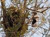 Wren, Cactus 2007.3.7#0096. A pair of birds preparing their nest. Near Tucson, Arizona.