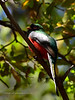 Trogon, Elegant 2019.4.30#1732. Santa Rita Mountains, Arizona.