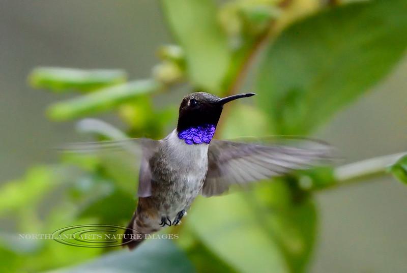 Hummingbird, Black-chinned 2019.4.28#424. Madera Canyon, Santa Rita Mountains Arizona.