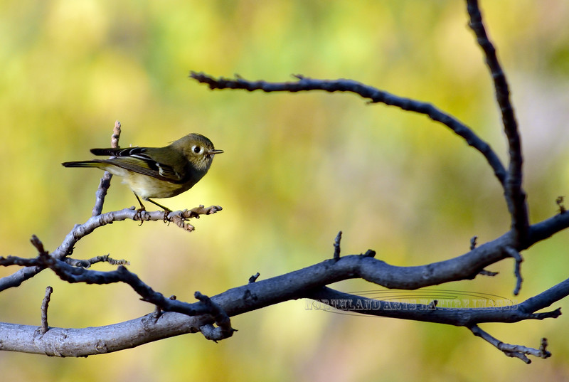 Kinglet,Ruby crowned. Yavapai County, Arizona. #111.226.