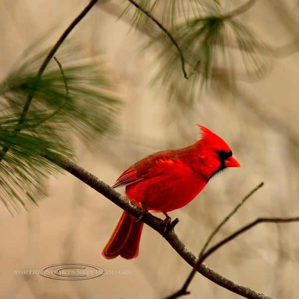 Cardinal, Northern 2016.1.14#887. Peace Valley, Bucks County, Pennsylvania.
