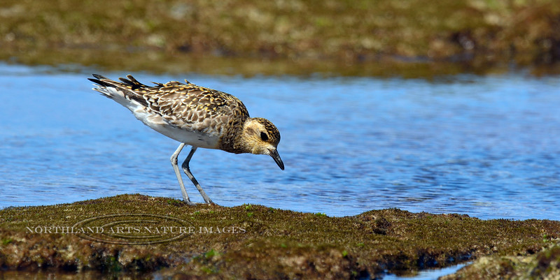 Plover, Black-bellied. Kona coast, Hawaii. #27.568.