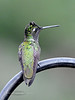 Hummingbird, Magnificent. Now called Rivoli's. Santa Rita Mountains Arizona. #516.412.