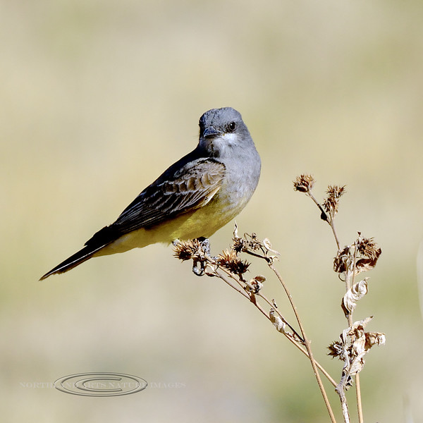 Kingbird, Cassin's. Chiricahua Mountains, Arizona. #55.204.