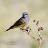 Kingbird, Cassin's. Chiricahua Mountains, Arizona. #55.204.
