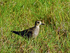 Plover,Pacific Golden Near Aimakapa Pond, Hawaii. #22.802.