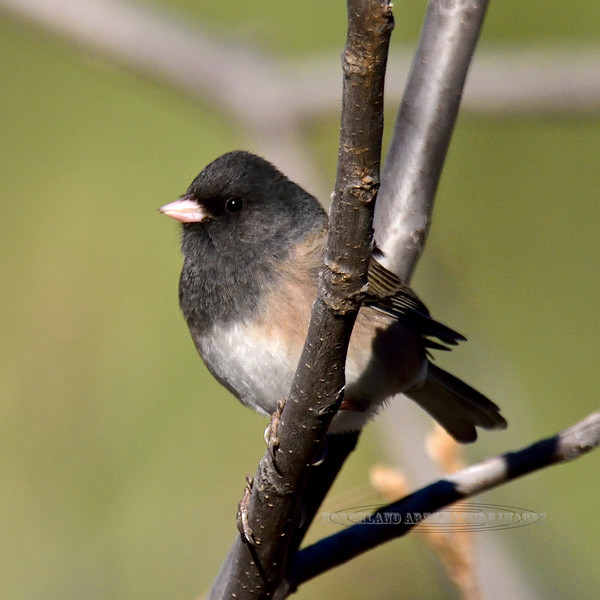 Junco, Dark-eyed, Oregon species. Yavapai County, Arizona. #113.283.