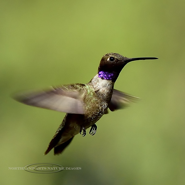 Hummingbird, Black-chinned. Santa Rita mountains. #521.1033.