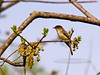Flycatcher, Yellow-bellied. Bucks Co.,PA. #425.098. 3x4 ratio format.