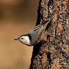 Nuthatch, White-breasted, western. A good example of darker flanked western bird. Kaibab Forest, Coconino County Arizona, #1129.226.