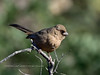 Towhee, Abert's. Pinal County, Arizona. #1214.1975.