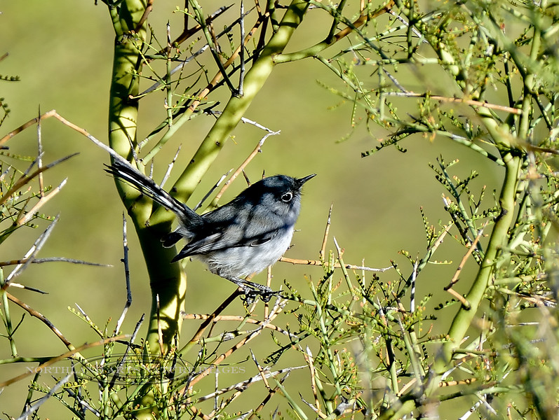 Gnatcatcher, Blue-gray. Pinal County, Arizona. #127.1681.