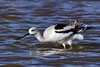 Avocet, American. Maricopa County, Arizona. #127.718.