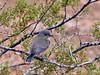 Bluebird, Western 2019.1.17#563. Lake mead Recreation area, Nevada.