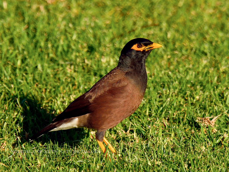 Myna, Common. An alien introduced in 1865, common most everywhere now. Saddle Road, Mauna Kea, Hawaii. #26.111. 3x4 ratio format.