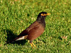 Myna, Common. An alien introduced in 1865, common most everywhere now. Saddle Road, Mauna Kea, Hawaii. #26.111.