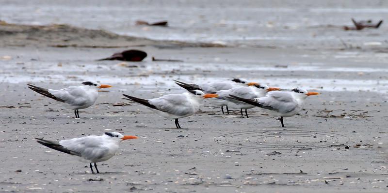 Tern, Royal 2020.9.18#4387.3. Stone Harbor point, Cape May, New Jersey.