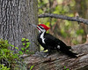 Woodpecker, Pileated 2010.4.30#080.2XX. Penn's Woods, Bucks County Pennsylvania.