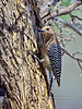 Woodpecker, Gila 2018.3.20#575. San Pedro House, Arizona.