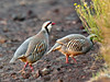 Chukar 2015.2.3#1460. Saddle Road, Mauna Kea Hawaii.