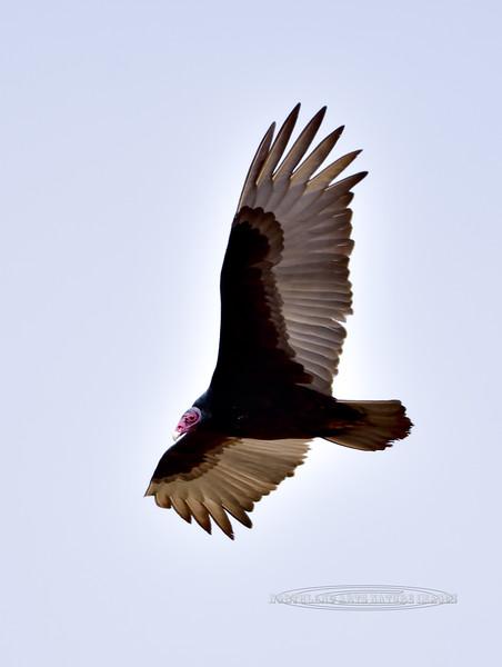 Raptors & allies-Vulture, Turkey. Sonoita, Arizona. #321.1204.