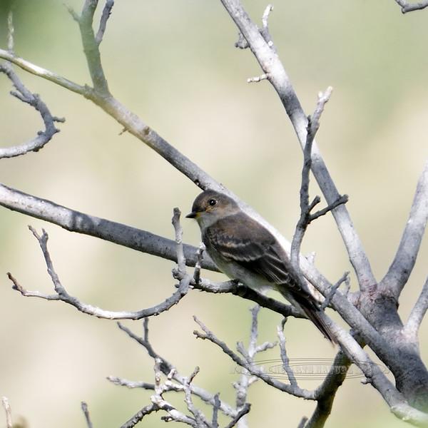 Flycatcher, Gray. Willow Lake, Arizona. #82.024.
