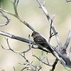 Flycatcher, Gray. Willow Lake, Arizona. #82.024.