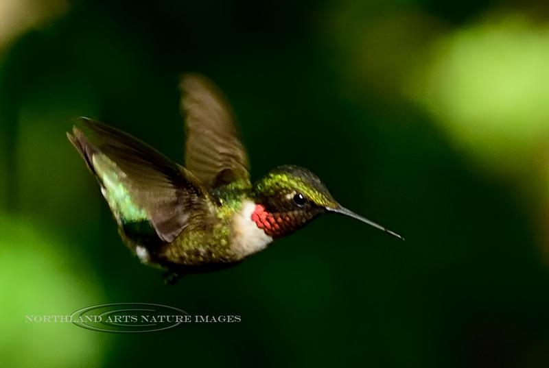 Hummingbird, Ruby-throated. Bucks County, PA. #515.321. 2x3 ratio format.