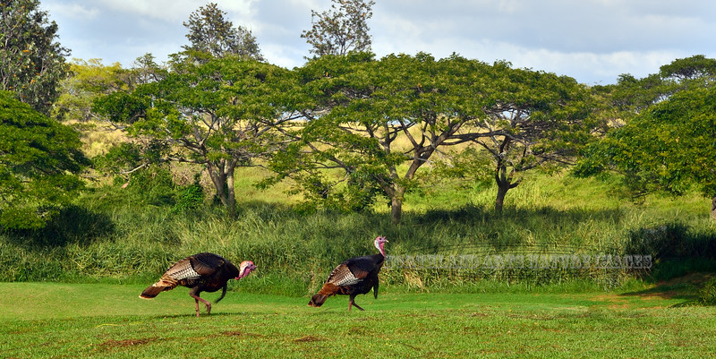 Turkey, Wild 2015.2.2#135. On left is Merriam's or Hybrid, turkey on right is looks like a Rio species, but all the turkey's on the Island are technically hybrids now. Route 190, Big Island Hawaii.