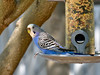 Blue Budgerigar. A native of Australia but has established a few scattered populations in the Southwest US and Florida. Prescott Valley Arizona. #812.039.
