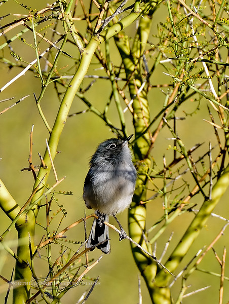 Gnatcatcher, Blue-gray. Pinal County, Arizona. #127.1687.