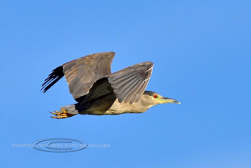 Heron, Black Crowned Night. Wilcox Arizona. #1114.637.