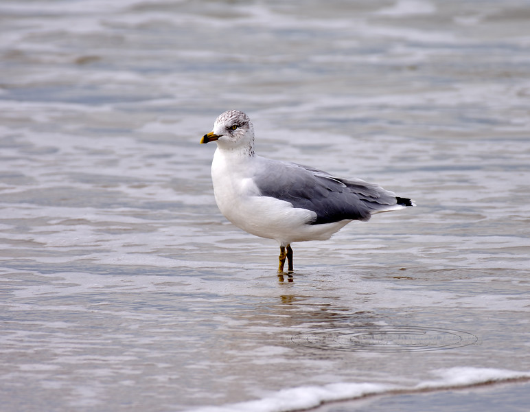 Gull, Lesser Black-backed 2020.9.17#3635.3. 2nd Ave. Jetty, Cape May, New Jersey.