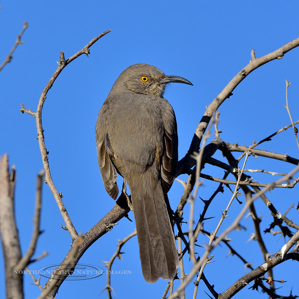 Thrasher, Curve-billed. Maricopa County, Arizona. #1213.137.