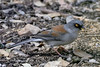 Junco, Yellow-eyed. Pima County, Arizona. #48.1446.