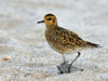 Plover, Pacific Golden. Beach near Aimakapa Pond, Hawaii. #22.511.