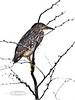 Heron, Black-crowned Night. Aimakapa Pond, Hawaii. #22.485. 3x4 ratio format.