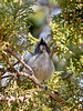 Titmouse, Juniper. Coconino County, Arizona. #1128.076.