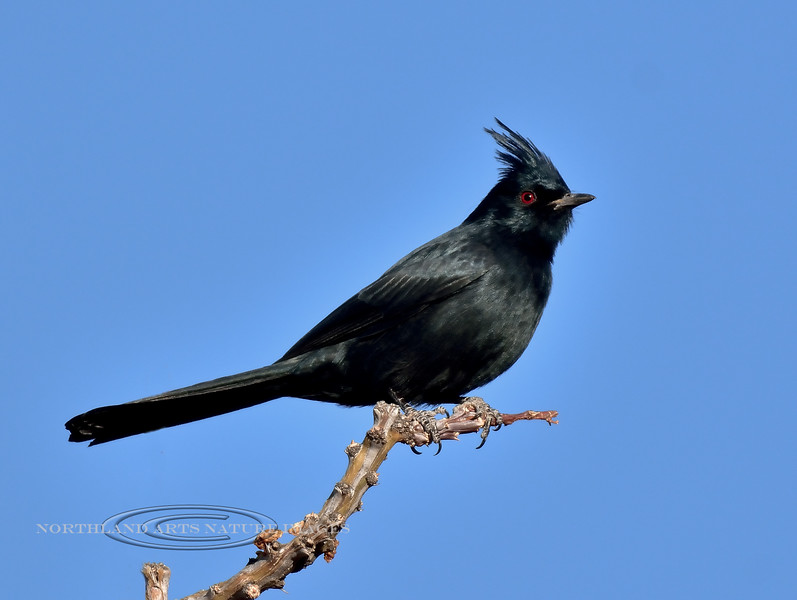 Phainopepla. Pinal County, Arizona. #1214.1895.