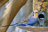 Blue Budgerigar 2018.8.12#064. Prescott Valley Arizona.