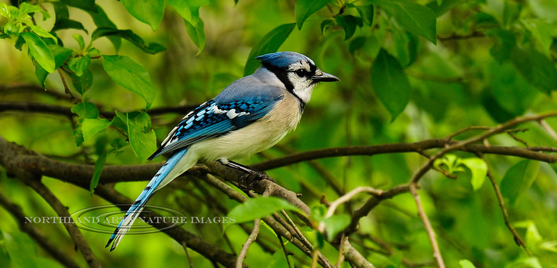 Jay, Blue. Bucks County, Pennsylvania. #54.157. 1x2 ratio format