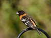 Grosbeak, Black-headed. Santa Rita Mountains Arizona. #522.2575.