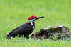 Woodpecker, Pileated 2016.5.15#451. Fortunate finding this cooperative bird drilling this stump in a mowed field, but backlit late in the day. Beaver Run, Bucks County Pennsylvania.