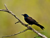 Grackle, Common. Bucks County Pennsylvania. #428.115. 2x3 ratio format.